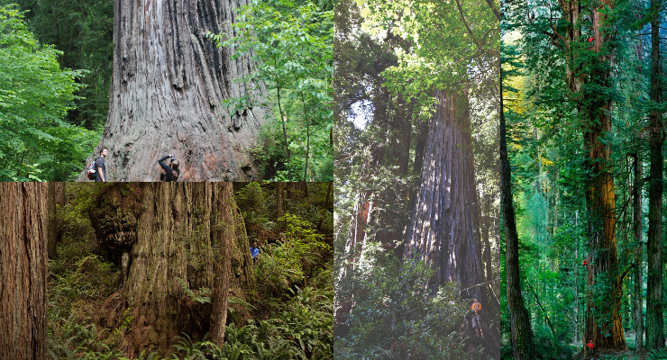Adventure Group Announces Top Redwood Trees
